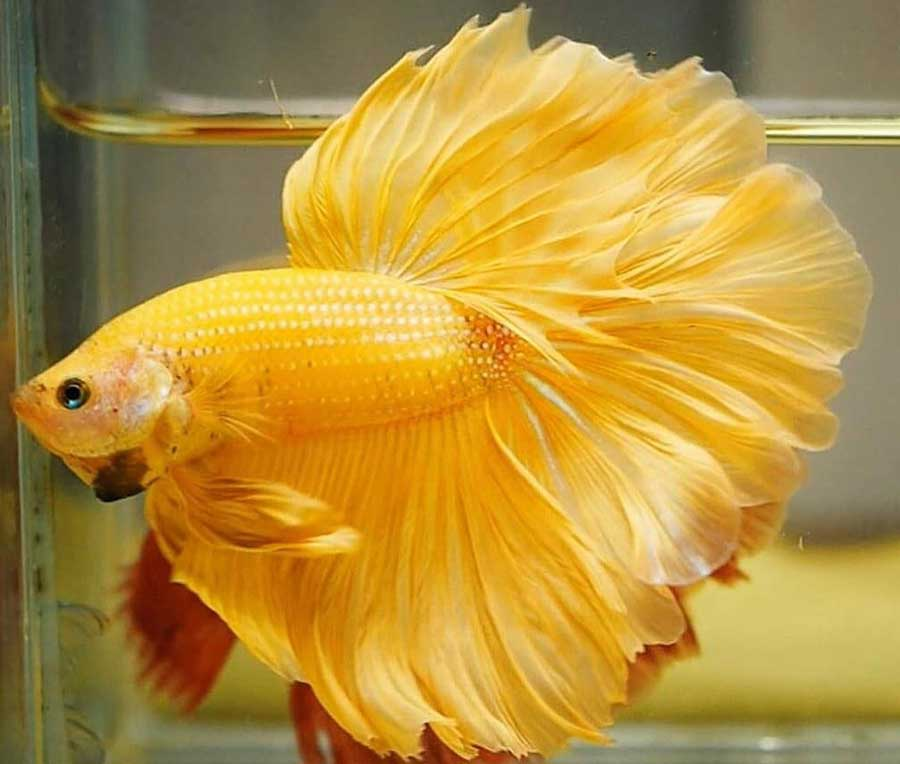 pez betta amarillo imagenes