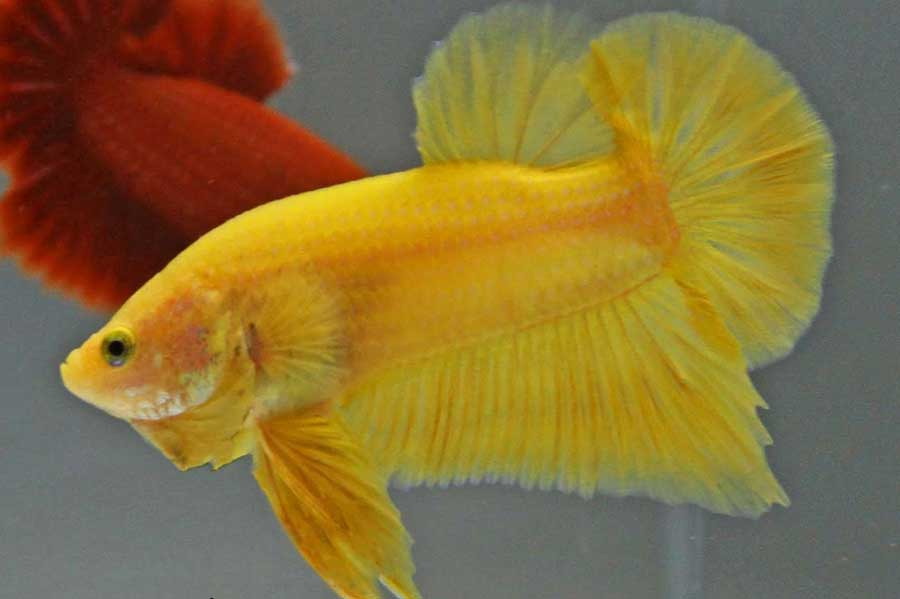 pez betta amarillo foto