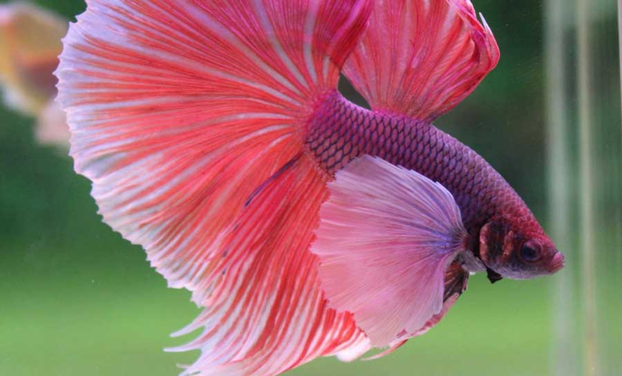 peces betta dumbo, pez betta dragon dumbo, pez betta orejas de dumbo, pez betta super dumbo