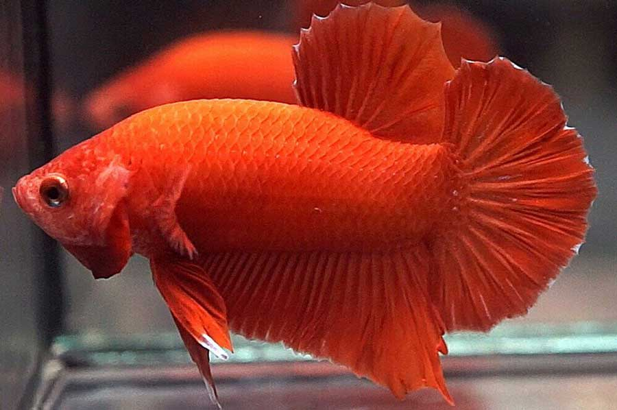pez betta naranja